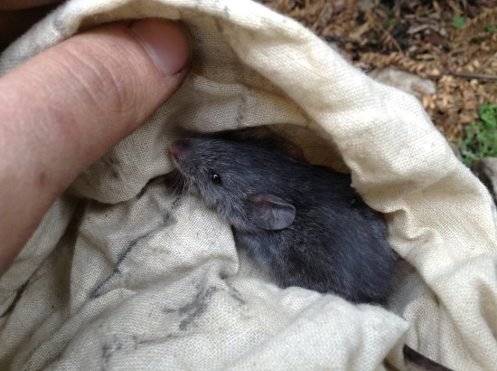Juvenile smoky mouse ( Pseudomys fumeus) in the Grampians National Park, October 2013. Image: Phoebe Burns