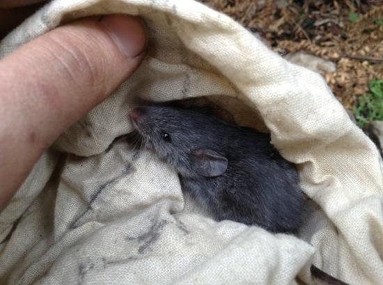 Juvenile smoky mouse ( Pseudomys fumeus) in the Grampians National Park, October 2013. Image: Phoebe Burns