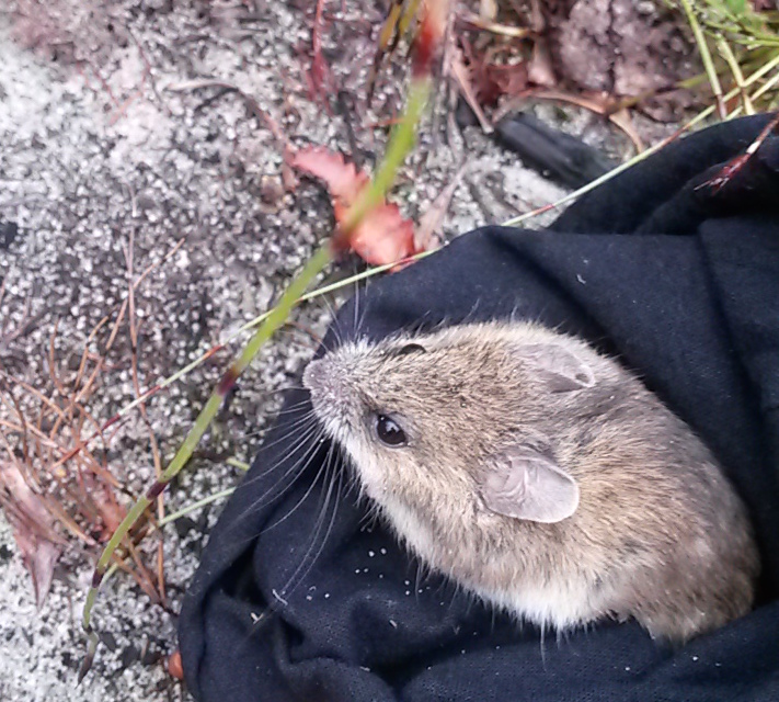 New Holland mouse captured and released using live trapping. (Image: Phoebe Burns)