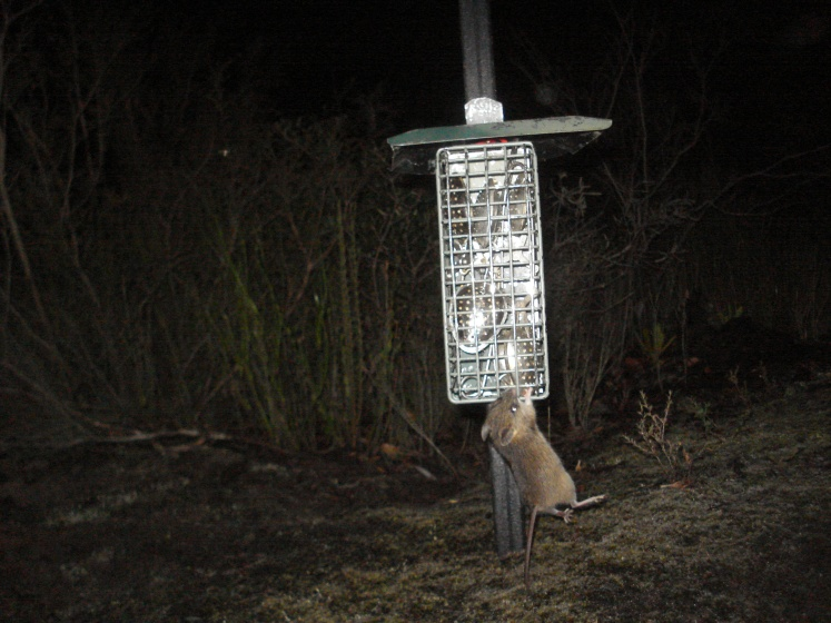 Camera trap image of a New Holland mouse clinging to a bait station. (Image: Phoebe Burns)