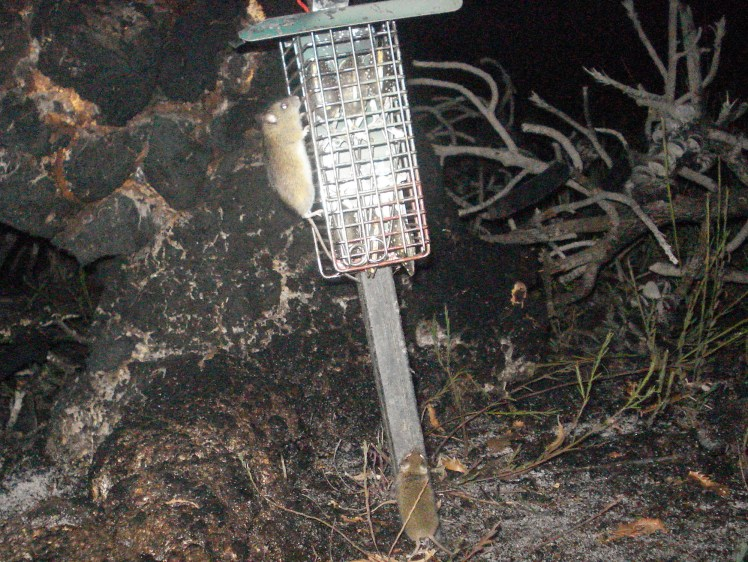 Camera trap image of a New Holland mouse climbing on a bait station with a house mouse standing up against the base. (Image: Phoebe Burns)