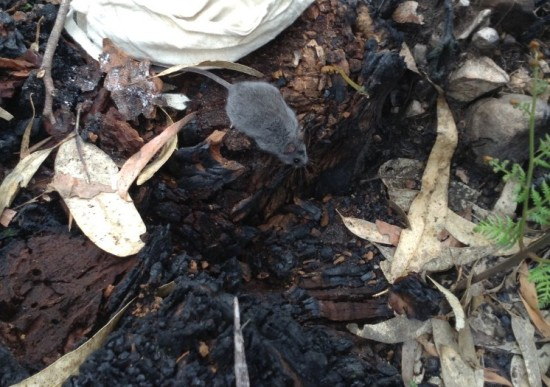 Smoky mouse (Pseudomys fumeus) in the Victoria Valley fire scar, September 2013. Image: Phoebe Burns