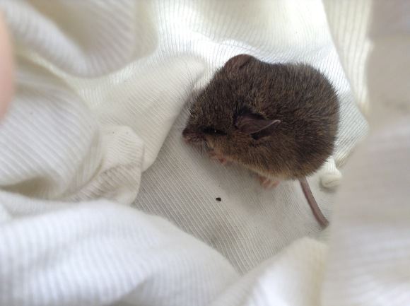 A New Holland mouse huddles in a cloth handling-bag
