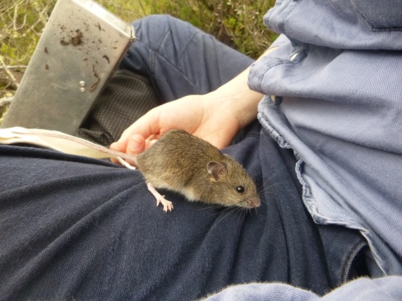 New Holland mouse on lap
