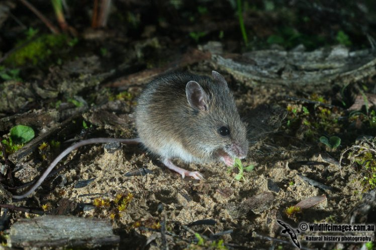 New Holland Mouse nibbles a leaf