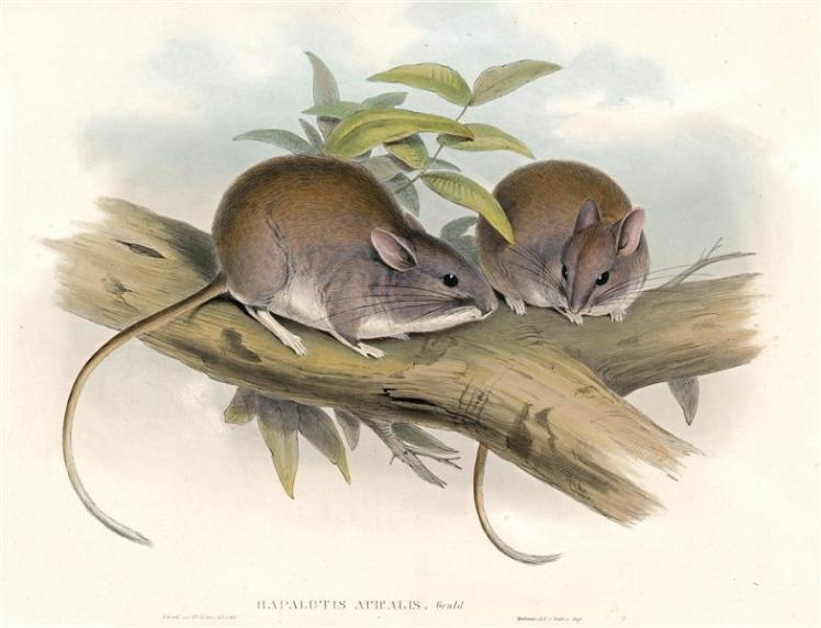 Lesser Stick-nest Rat